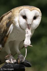 Barn owl rodent control